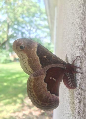 Clueless Moth