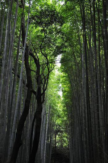 Arashiyama bamboo forest Tree Plant Forest Growth Trunk Beauty In Nature Green Color WoodLand Bamboo - Plant Bamboo Bamboo Forest Treelined Tree Trunk Covered Sky Blinders