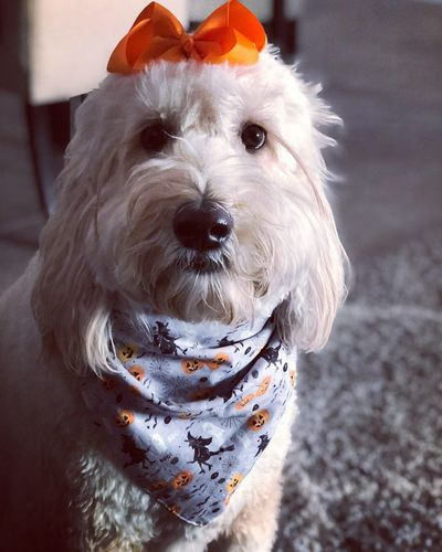 Spooky time Halloween EyeEm Puppy Dog Face Goldendoodle Dogs Of EyeEm Puppy Bow Domestic Pets Mammal Dog Domestic Animals Canine One Animal Portrait No People Close-up
