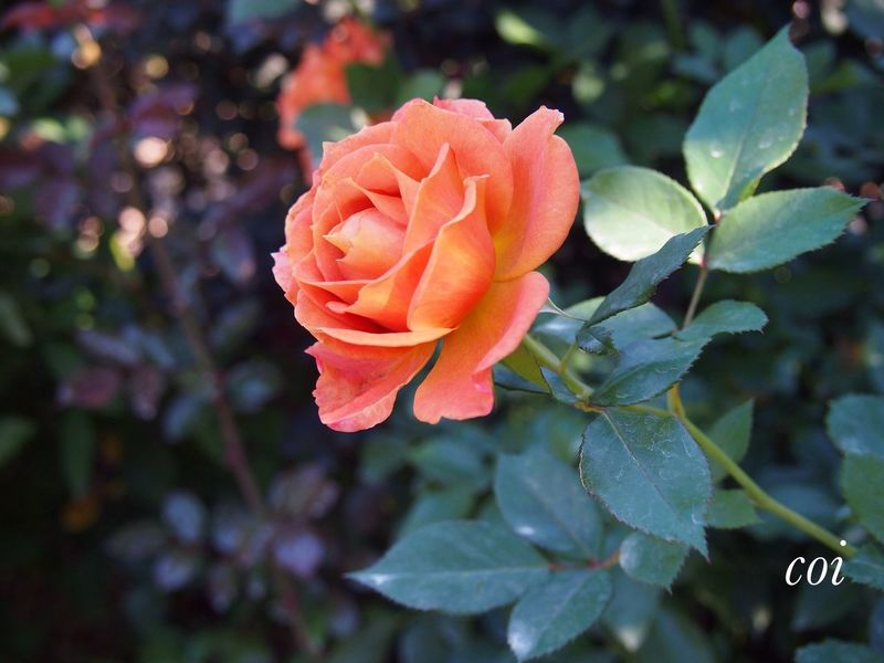 My Favorite  Rose♥ The Rose My Life