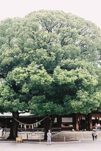 Ancient Civilization Beauty In Nature Big Tree Culture Day Destination Forest Green Green Color Holiday Japan Leading Meiji-Jingu Minimalism Nature Outdoors Plant Tiny People Tokyo Tree