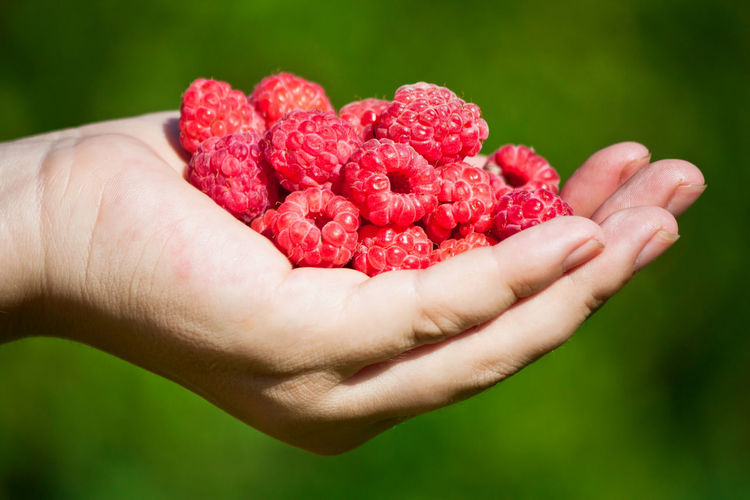 Hands full of ripe raspberry Berry Close-up Cropped Day Focus On Foreground Food And Drink Freshness Green Background Handful Hands Holding Human Finger Leisure Activity Lifestyles Part Of Person Personal Perspective Raspberry Red Ripe Selective Focus Vibrant Color