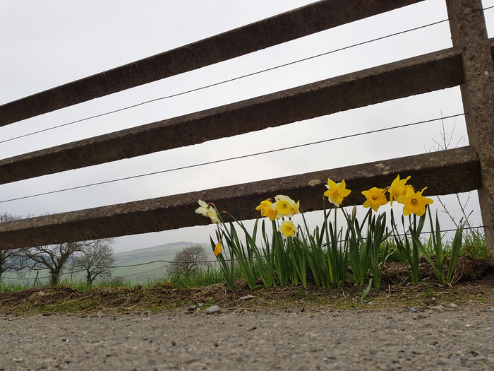 Concrete Fence Daffodil Fence Flower Flower Head Flowering Plant Outdoors Plant