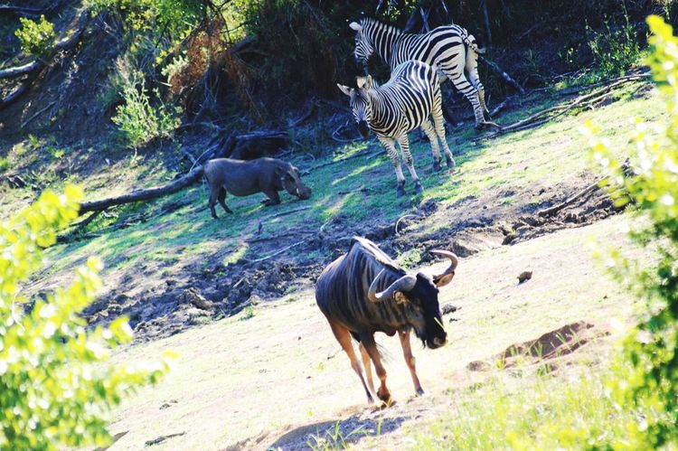 Safari Safari Animals Safari Park Wilderbeast Zebra Zebras Warthog Pumba Wildlife & Nature Wildlife Photography Nature Africa South Africa Southafrica Animals Wilderness Trees Warm Leaves