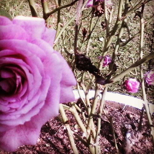 Rosas NaturezaBela 🌹 @goprosc @galeriasc