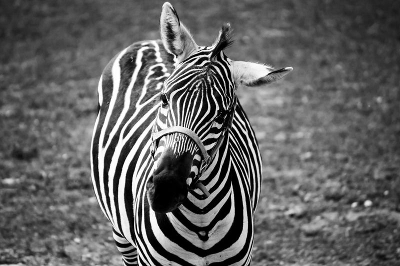 Monochrome on monochrome? Yes, please! This zebra was actually quite the character! You can see a glimpse of that in how he cocked his head to the side at me! ;) Animals In The Wild Animal Themes Animal Wildlife Zebra One Animal Striped Field Nature No People Outdoors Animal Markings Nature Nature_collection Nature Photography Naturelovers dDay cClose-up Art Is Everywhere