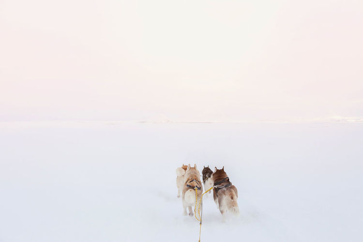 Sled dogs running through empty snow landscape in Iceland. Freedom Freezing Holiday Iceland Run Wanderlust Animal Themes Arctic Cold Temperature Day Dog Domestic Animals Horizon Husky Landscape Minimal Nature No People Nobody Outdoors Pets Snow Togetherness Tourism Winter Shades Of Winter An Eye For Travel Shades Of Winter
