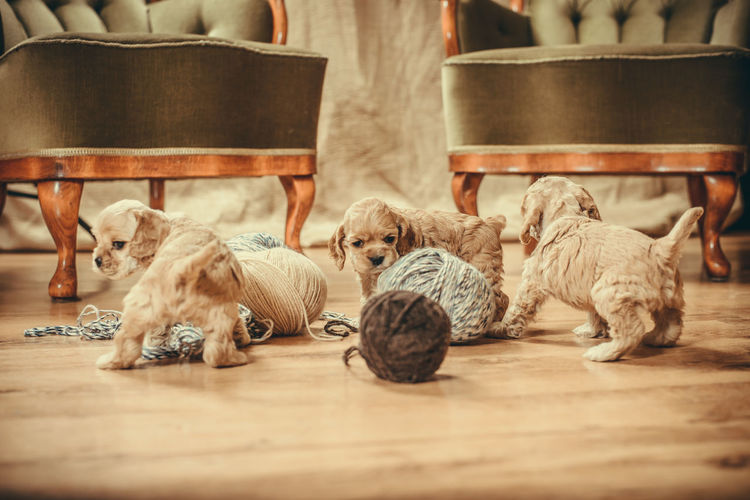 Puppies playing with yarns Cute Pets Playing With The Animals Animal Themes Close-up Cute Day Dog Domestic Animals Indoors  Lying Down Mammal No People Pets Playing Puppies Puppy Relaxation Sitting Togetherness Wood - Material