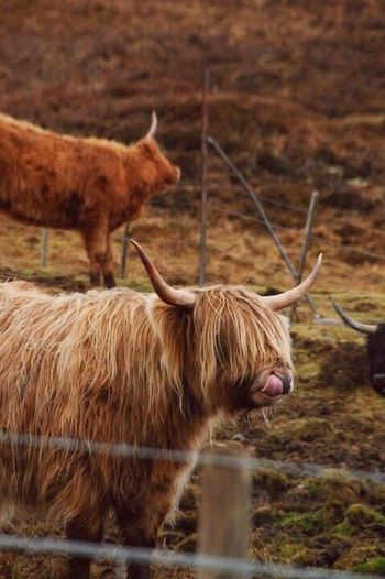 Animal Head  Highland Cattle Highland Coo Scottish Highlands Scottish Cattle Scottish Cow Hairy Cow Hairy Coo Digging For Gold Animal Photography Horned Livestock Animal Behavior