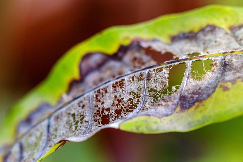 died leaf