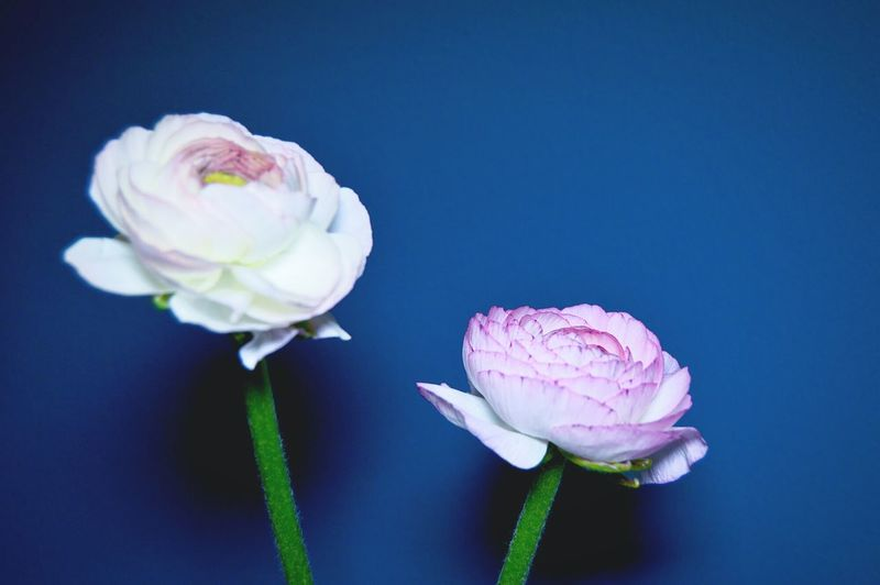 Close-up of ranunculus flowers against blue background