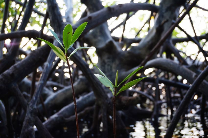 Mangroves Beach LaJungla Guanica, PR Nature Outdoors Tranquility Selective Focus Focus On Foreground Eye For Photography Eye For Detail EyeEm Gallery Beauty In Nature From My Point Of View EyeEm Nature Lover Idyllic EyeEm Best Shots - Nature