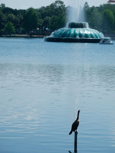Lake Eola Park in downtown. Animal Animal Themes Animal Wildlife Animals In The Wild Beauty In Nature Bird Day Flying Lake Nature No People One Animal Outdoors Reflection Scenics - Nature Tree Vertebrate Water Waterfront