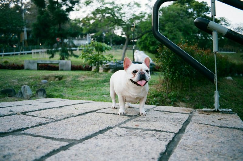 Tounge Out  Toungeouttuesday Playing With The Animals Frenchbulldog Cute Pets Filmisnotdead Film Photography 35mm Film Pets Corner Pets 鐵蛋 Pet Portraits