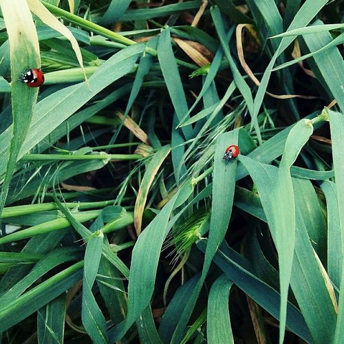 Luck Ladybird Ladybug Red And Green Ugurbocegi Grass Uğur Green And Red UğurböceğimNerede Konya