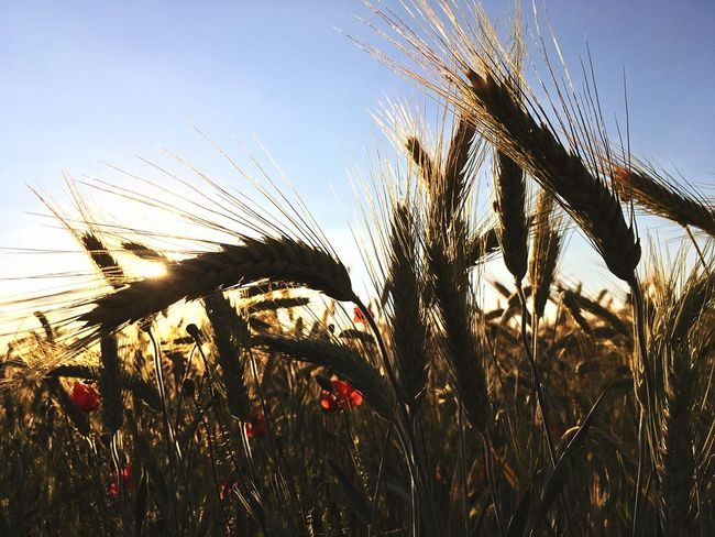 Growth Cereal Plant Nature Crop  Agriculture Field Rural Scene Plant Ear Of Wheat Beauty In Nature Tranquil Scene No People Wheat Outdoors Tranquility Sky Day Scenics Close-up Rye - Grain