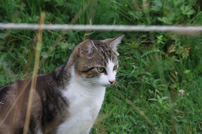 Animal Beobachten Cat Focus In The Middle Gras  Grass Haustier Katze Nature Säugetier Wiese