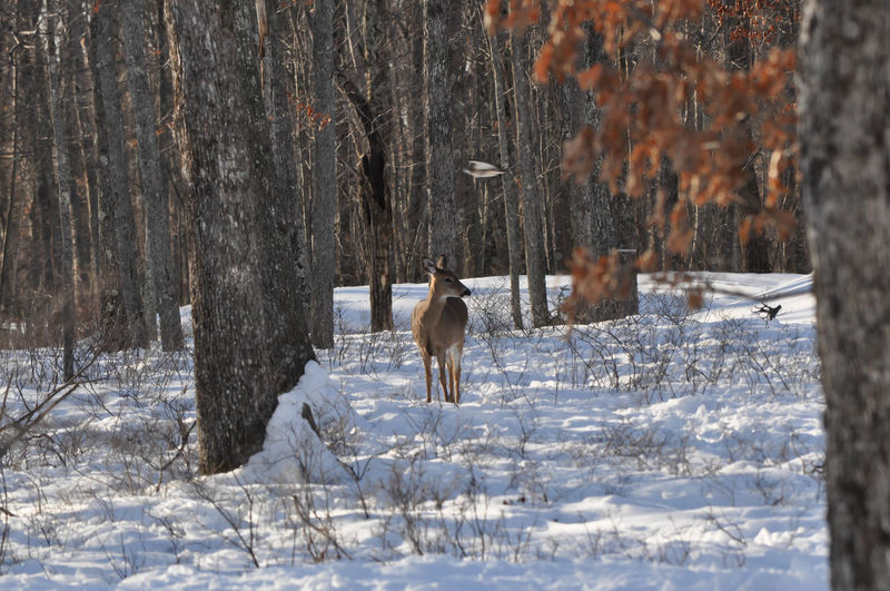 Whitetail Deer with a Hawk Flying Overhead Unexpectedly Deer Pennsylvania Animal Themes Animal Wildlife Animals In The Wild Bird Cold Temperature Doe Forest Hunting Mammal Motion Nature No People Outdoors Poco Snow Whitetail Winter
