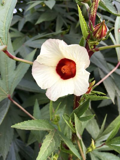 Hibiscus Sabdariffa Red Beauty In Nature Bloom Blooming Blossom Close-up Day Flora Floral Flower Flower Head Fragility Freshness Growth Jamaica Sorrel Leaf Nature No People Outdoors Petal Plant Red Sorrel Roselle Water