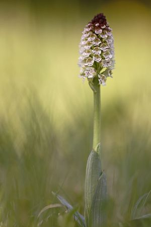Orchis ustulata, Anacamptis ustulata, wild Orchid Beauty In Nature Close-up Day Field Flower Flower Head Flowering Plant Focus On Foreground Fragility Freshness Growth Inflorescence Nature No People Outdoors Petal Plant Plant Stem Purple Selective Focus Vulnerability