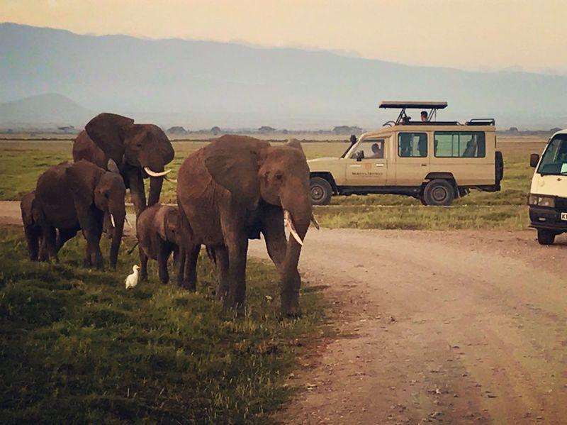 Animal Themes Kenya Africa Safari Car Elephant Crossing Nature Whildlife Animals In The Wild Animals Young Animal Land Vehicle Animals In The Wild Landscape Safari Animals African Elephant Amboseli National Park Amboseli NatureReserve Elephant Nature Park Elephant Family