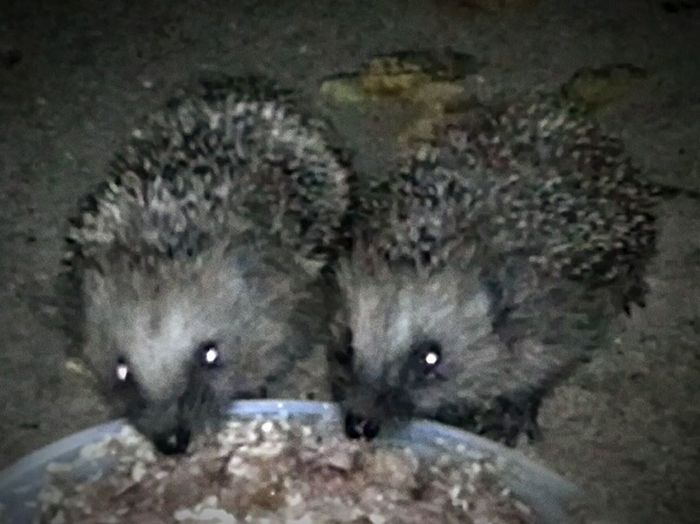 Igel Igelüberwinterung Hedgehog Wintering Überwinterung Wintering Igelhilfe Hedgehog Rescue Animal Tier Nützlich Rescue Animal Sweet Nature Natur Garden Hungry Hedgehog Garten Tier Zoology Hedgehog Maximum Closeness Share TheMeal Beautifully Organized