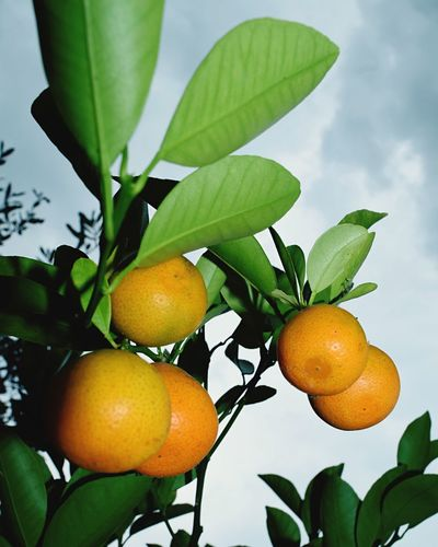 First Eyeem Photo Best EyeEm Shot Food And Drink Fruit Leaf Freshness Healthy Eating Food Close-up Tree Ripe Branch Growth Hanging Low Angle View Citrus Fruit Selective Focus Yellow Green Color Vibrant Color Sky Juicy Orange Fruits Tangerine
