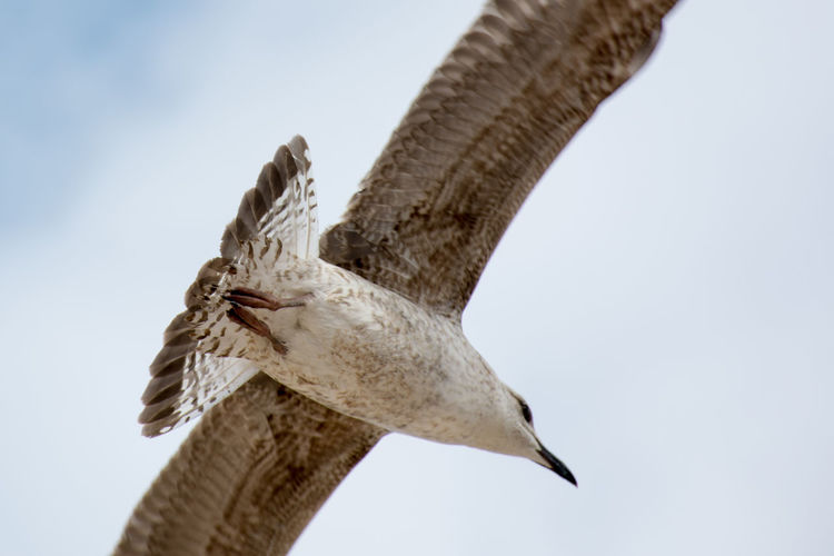 Animal Themes Animals In The Wild Beauty In Nature Bird Day Flying Low Angle View Nature No People Outdoors Seagull SEAGULL IN FLIGHT Spread Wings