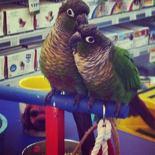 These cuties!! Conure Greencheekconure Cute Pretty bird birds petstore adorable pet