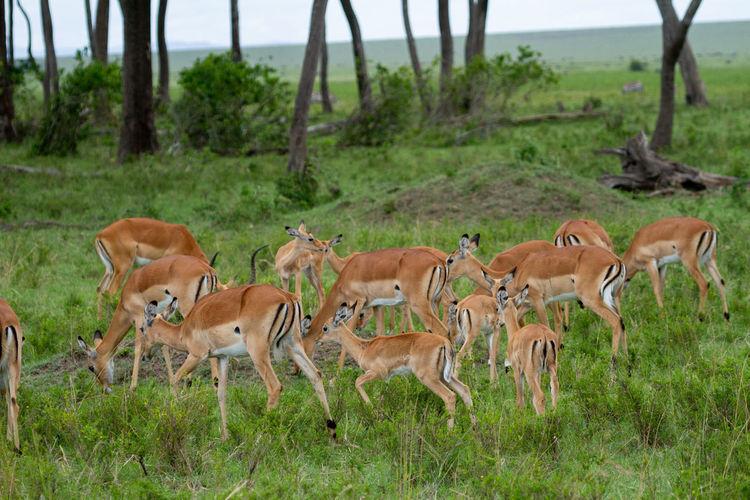 A herd of impalas in a field