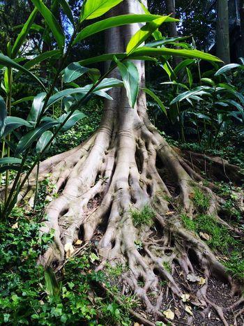 Ficus Tree Ficus Roots Roots Of Tree Roots Of Life Tree TreePorn Tree Trunk Trees Tree_collection  Tree Porn Treescollection Nature Nature_collection Naturelovers Nature Photography Naturephotography Nature_collection Green Foliage Dschungel Djungle