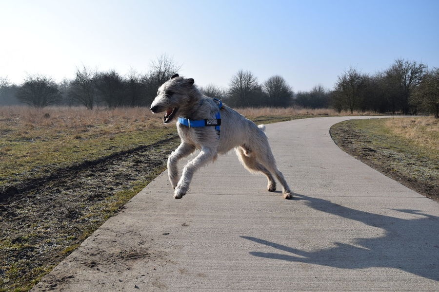 One Animal Dog Domestic Animals Tree Outdoors Ways Through The World Herrenkrugpark How Is The Weather Today? February 2017 Winter 2017 Cearnaigh Irish Wolfhound Dogslife Dogs Of EyeEm Take A Walk In The Park Dogwalk Sunlight Running Animal Themes Blue Sky Portrait Cold Temperature