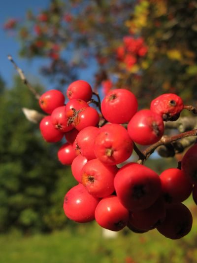 Autumn Rowan Berry Fruit Close-up Day Fall Focus On Foreground Food And Drink Freshness Fruit Growth Nature No People Outdoors Plant Red Ripe Rowanberry Sorbus Aucuparia