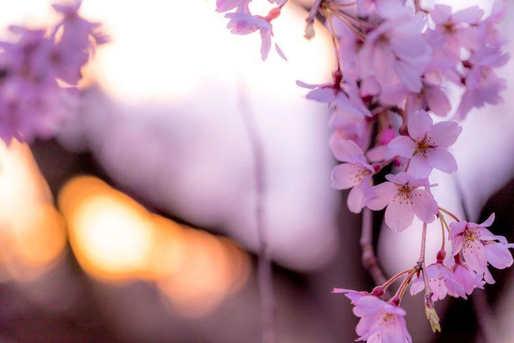 Flower 桜 サクラ