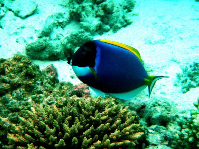 Blue Water Clear Water Color Contrast Multi Colored White Sand Colorful Fish Exotic Fish Blue And Yellow Surgeon Fish Contrast Colors Maldives Indian Ocean Best Of EyeEm Close-up Coral Reef
