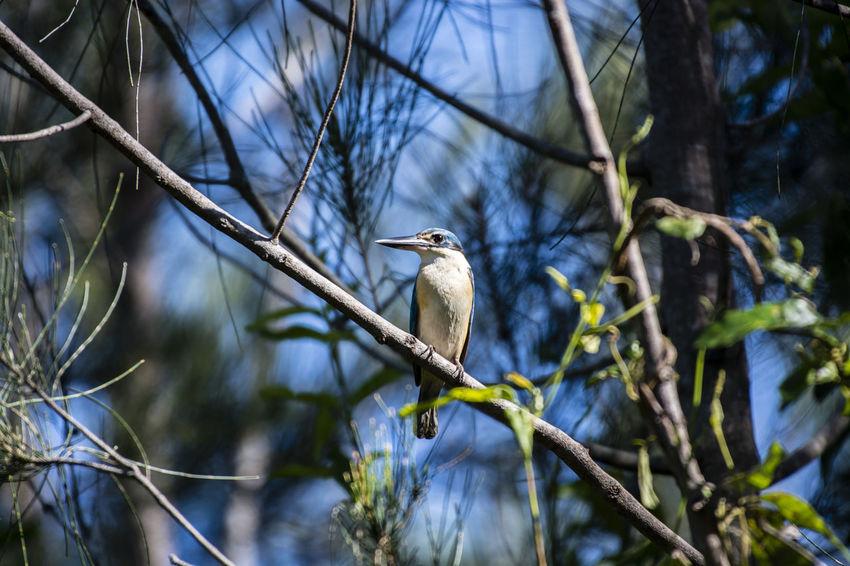 Sacred Kingfisher Animal Wildlife Animals In The Wild Bird Branch Kingfisher Bird Nature Outdoors Perching Sacred Kingfisher