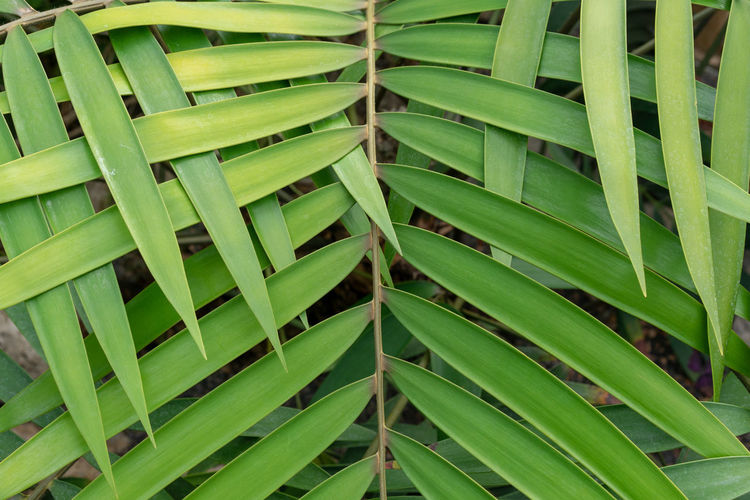 green leaf overlap zigzag pattern structure for background Palm Pattern Pieces Weave Backgrounds Beauty In Nature Close-up Day Full Frame Green Color Growth Leaf Leaves Natural Pattern Nature No People Outdoors Pattern Plant Plant Part Tranquility Zigzag