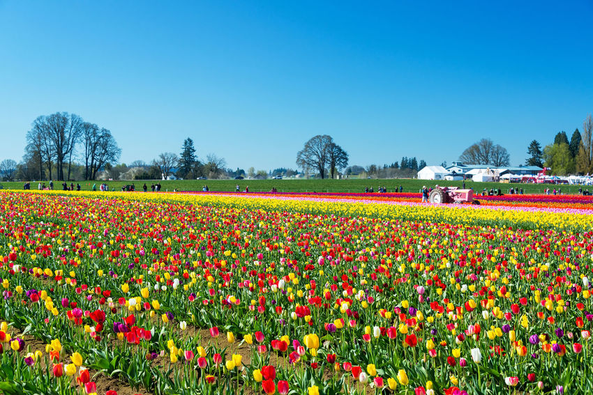 WOODBURN, OR - MARCH 30: People visit a colorful tulip farm in Woodburn, OR on March 30, 2016 Blooming Blue Colorful Field Flower Flowers Green Green Color Landscape Nature Northwest Oregon Pacific Northwest  Pink Purple Red Rows Of Flowers Tourism Travel Travel Destinations Tulip Tulips USA White Woodburn