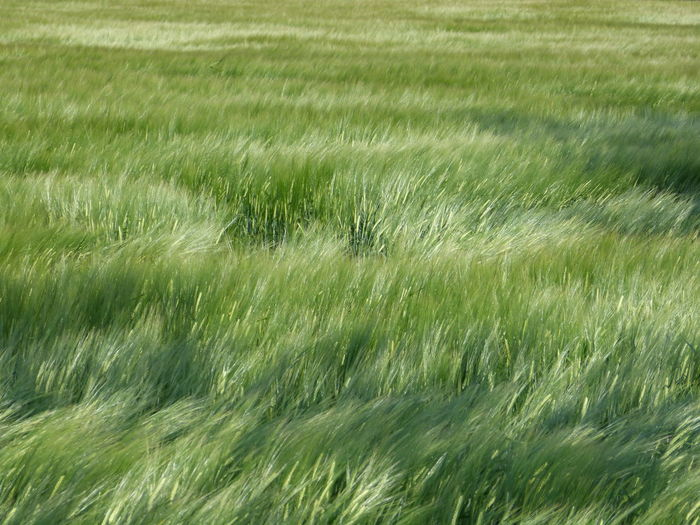 Grünes Getreide