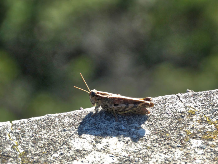 Grasshopper on wall. Animal Themes One Animal Animals In The Wild Invertebrate Animal Animal Wildlife Insect Solid Nature Day Close-up No People Rock Animal Antenna Rock - Object Animal Body Part Sunlight Focus On Foreground Outdoors Zoology Butterfly Grasshopper Cricket Bug Bugs Insects  Wall