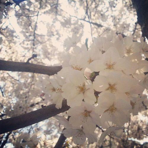 Spring . Sakura Kyungpooknatluniv