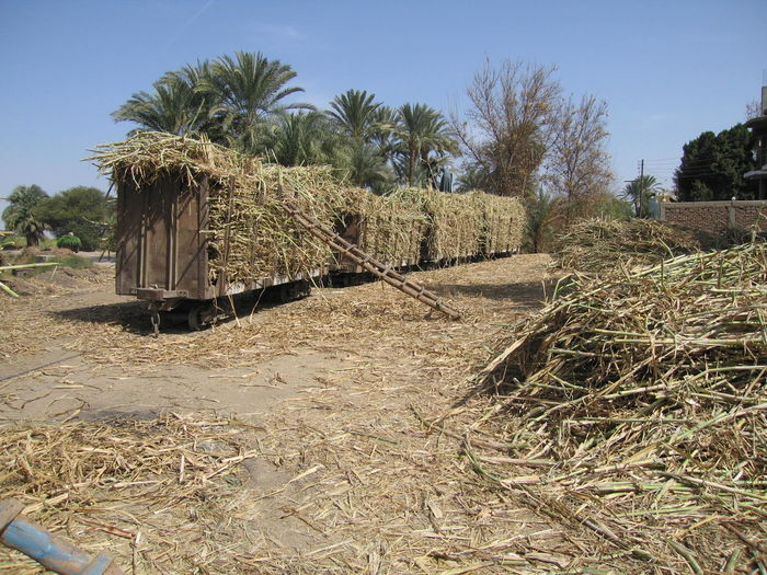 Aswan, february 2005. A small train ensures the crop of sugar canes... :: Un petit train assure la récolte de cannes à sucre. Aswan, Egypt Nile Riverbank Agriculture Arid Climate Assouan Crop  Rural Scene Récolte De Canne à Sucre Sugar Canes Tranquil Scene