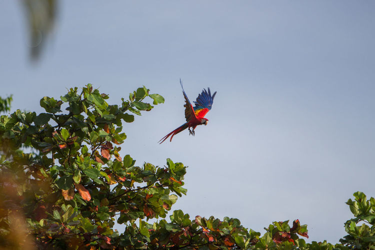 Close-up of red bird flying against sky
