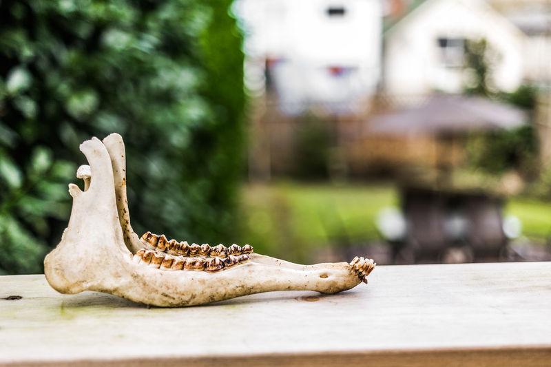 Bones Animal Themes Animal Wildlife Animals In The Wild Bokeh Close-up Day Focus On Foreground Nature No People One Animal Outdoors Reptile The Still Life Photographer - 2018 EyeEm Awards