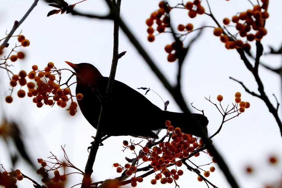 Blackbird In Tree Blackbird Silhouette Berries Rowan Tree Sorbus Josephs Rock Branch No People Fruit Beauty In Nature Day Personal Perspective Low Angle View Tranquility Outdoors EyeEm Nature Lover Wildlife & Nature Wild