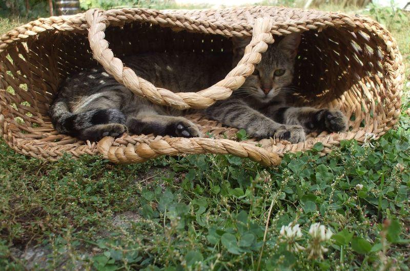 Cat relaxing in wicker bag on grassy field