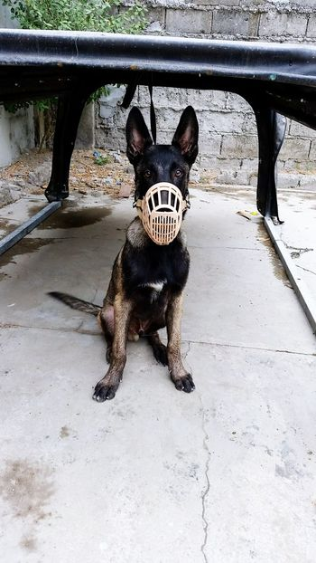 Belgian malinios on its mask Cute Dog  Cutepet Doglover Belgian Malinois