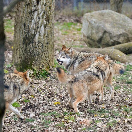 Mexican Wolf Nikon Df Tamron 70-200mm F/2.8 Zoo Columbus, Ohio
