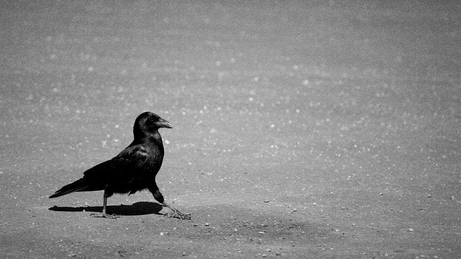 Walking Raven