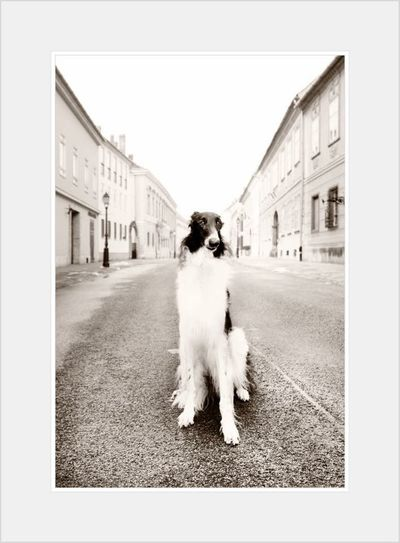 Leonard Borzoi Barzoj Dog Male Chien Route